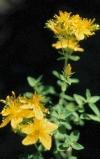 Hypericum Formosum - St. Johns Wort